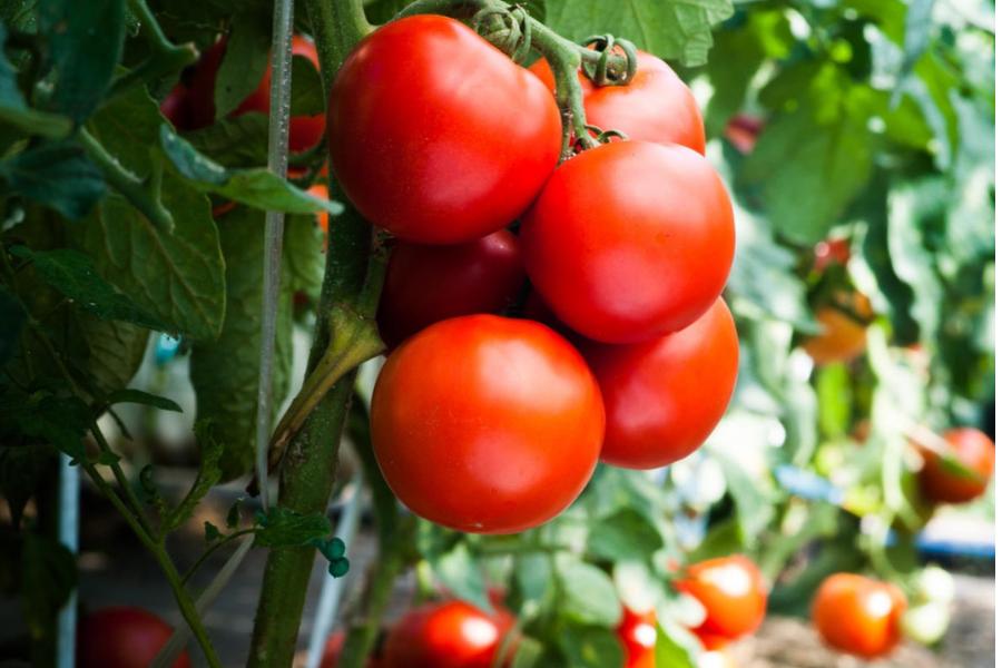 Россия разрешила ввоз томатов с семи предприятий Азербайджана